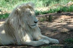 белизна льва Стоковые Фотографии RF