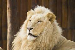 белизна льва Стоковое Изображение RF