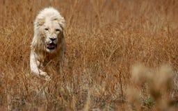 белизна льва Стоковая Фотография
