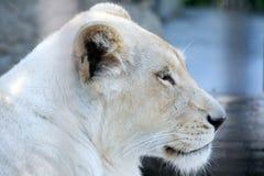 белизна львицы Стоковые Фотографии RF