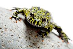 белизна лягушки стоковые изображения