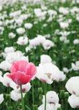 белизна макового семенени поля розовая Стоковое Изображение