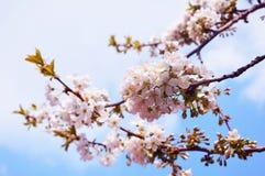 белизна макроса вишни ветви bacground Стоковые Изображения RF