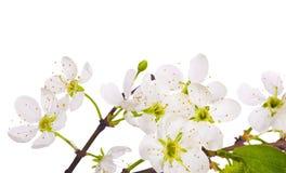 белизна макроса вишни цветения Стоковые Фото