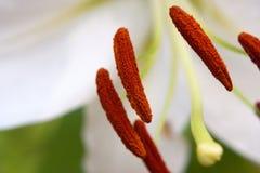 белизна макроса лилии Стоковая Фотография RF