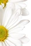 белизна маргаритки Стоковая Фотография RF