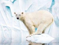 белизна медведя приполюсная Стоковые Фотографии RF