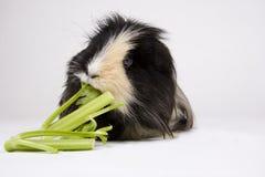 белизна морской свинки Стоковая Фотография RF