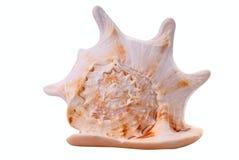 белизна моря раковины Стоковая Фотография RF
