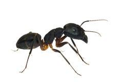белизна муравея изолированная предпосылкой Стоковые Фотографии RF