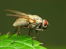 белизна мухы Стоковые Фото