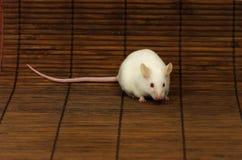 белизна мыши Стоковые Изображения RF