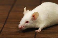 белизна мыши Стоковое Изображение