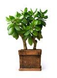 белизна нефрита предпосылки изолированная houseplant Стоковые Изображения
