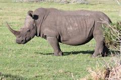 белизна носорога портрета Стоковое Изображение