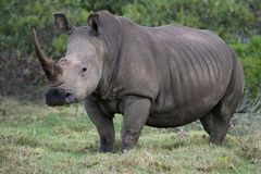 белизна носорога портрета Стоковая Фотография