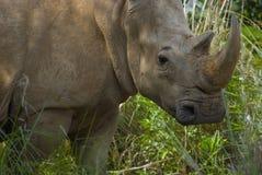 белизна носорога Стоковые Изображения RF