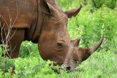 белизна носорога Стоковые Фото