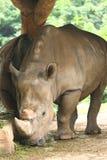 белизна носорога Стоковая Фотография