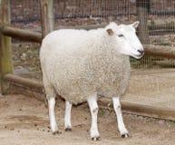 белизна овец Стоковые Фотографии RF