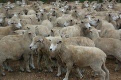 белизна овец Стоковое Изображение