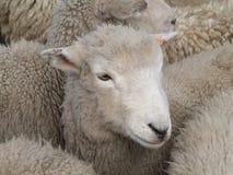 белизна овец Стоковое Фото
