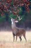 белизна оленей самеца оленя поведения замкнутая колейностью Стоковые Изображения