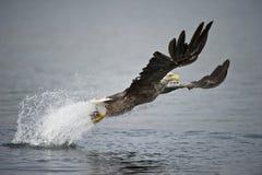 белизна орла замкнутая звероловством Стоковая Фотография RF