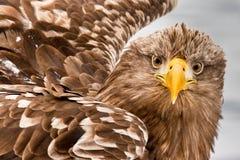 белизна орла замкнутая морем стоковая фотография