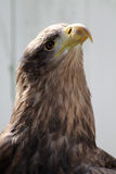 белизна орла замкнутая морем Стоковое Изображение