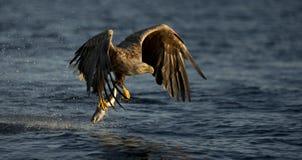 белизна орла замкнутая рыболовством Стоковое Изображение RF