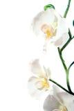 белизна орхидеи предпосылки красивейшая изолированная Стоковые Изображения