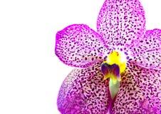 белизна орхидеи предпосылки пурпуровая Стоковое Изображение RF