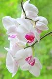 белизна орхидеи розовая Стоковая Фотография RF