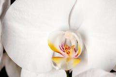 белизна орхидеи цветка детали Стоковая Фотография