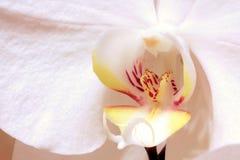белизна орхидеи цветка крупного плана Стоковые Фотографии RF