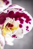 белизна орхидеи цветка пурпуровая стоковая фотография rf