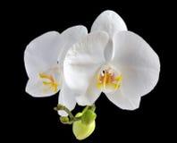 белизна орхидеи цветка стоковые изображения rf