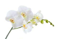 белизна орхидеи