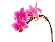 белизна орхидеи 2 предпосылок пурпуровая Стоковая Фотография