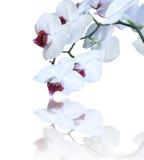 белизна орхидеи Стоковая Фотография