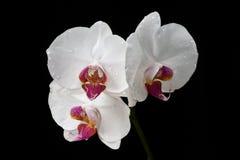 белизна орхидеи Стоковое фото RF