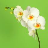 белизна орхидеи 3 предпосылок зеленая Стоковые Фотографии RF