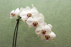 белизна орхидеи Стоковое Изображение