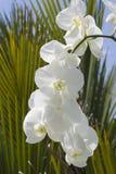 белизна орхидеи Стоковые Изображения