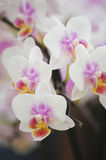 белизна орхидеи Стоковые Фото