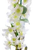 белизна орхидеи dendrobium nobile Стоковое Изображение RF