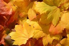белизна осени изолированная принципиальной схемой Предпосылка кленовых листов Стоковая Фотография