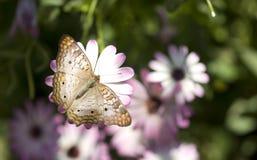 белизна павлина бабочки Стоковая Фотография