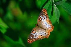 белизна павлина бабочки Стоковое фото RF